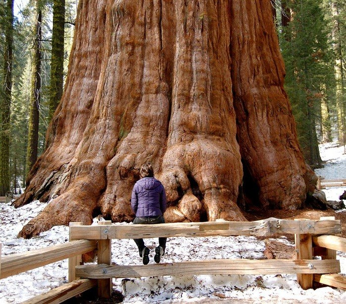 Лесной ресурс / Форум / Interesting facts and fun forest / Giant tree - Sequoia